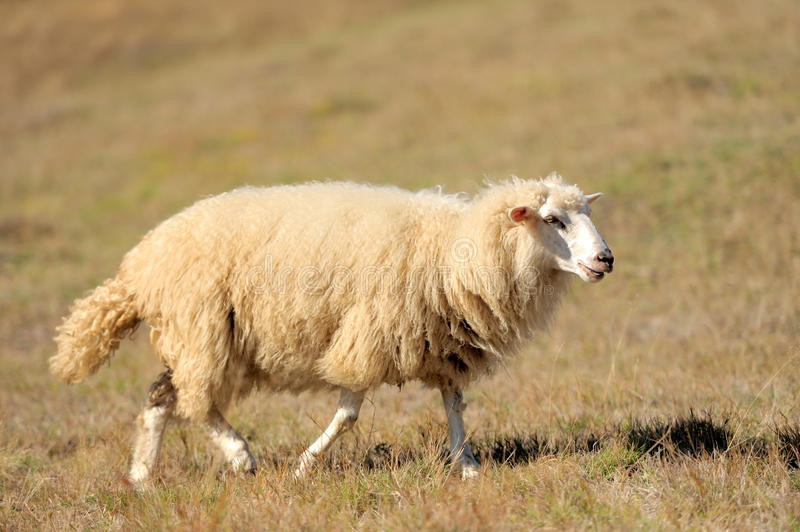 Download Sheep on a field stock photo. Image of herding, nature - 27472626