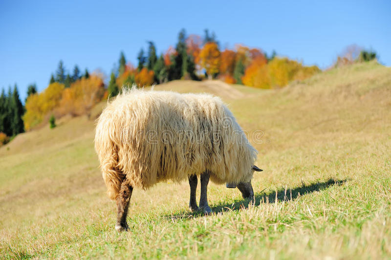 Download Sheep on a field stock photo. Image of lamb, autumn, farm - 27472692