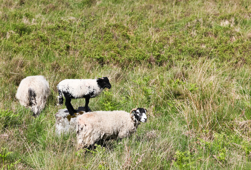 Sheep in a Field stock photos