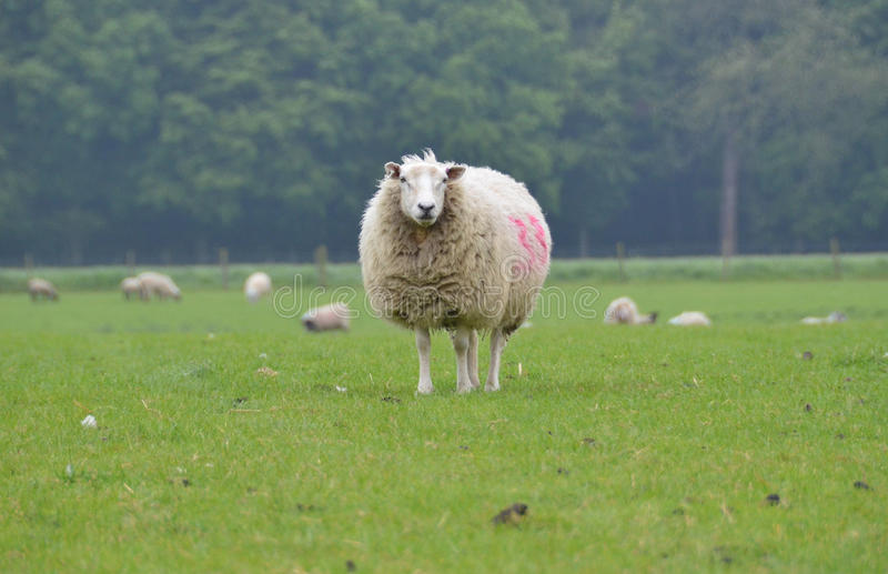 A sheep in the field stock images