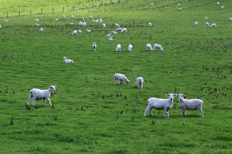 Sheep in the field stock images