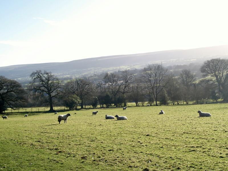 Sheep field on a sunny day stock image