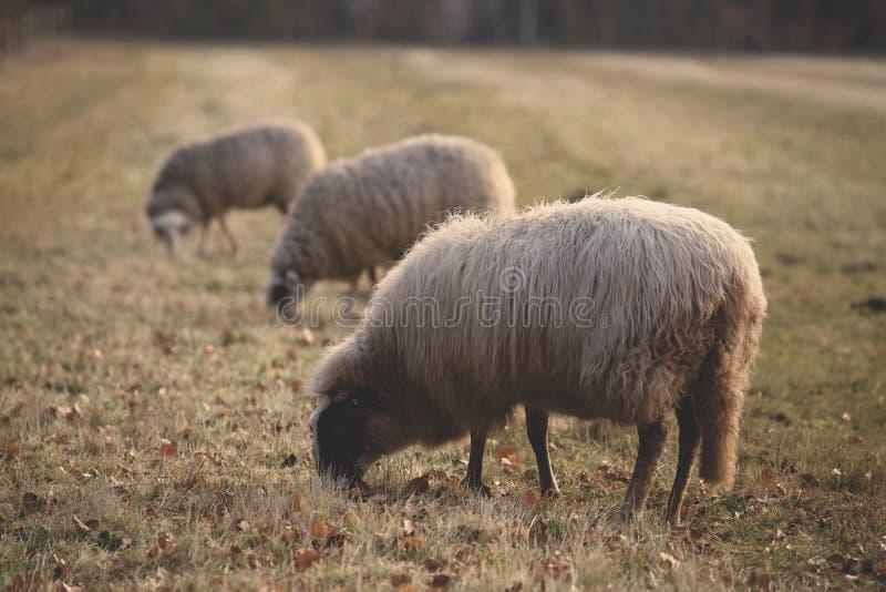 Sheep on field stock photo
