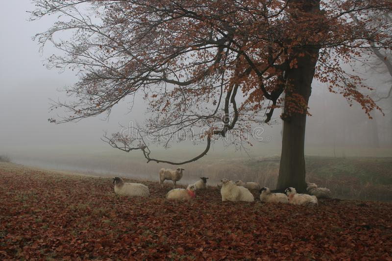 Sheep in field under tree in autumn stock image