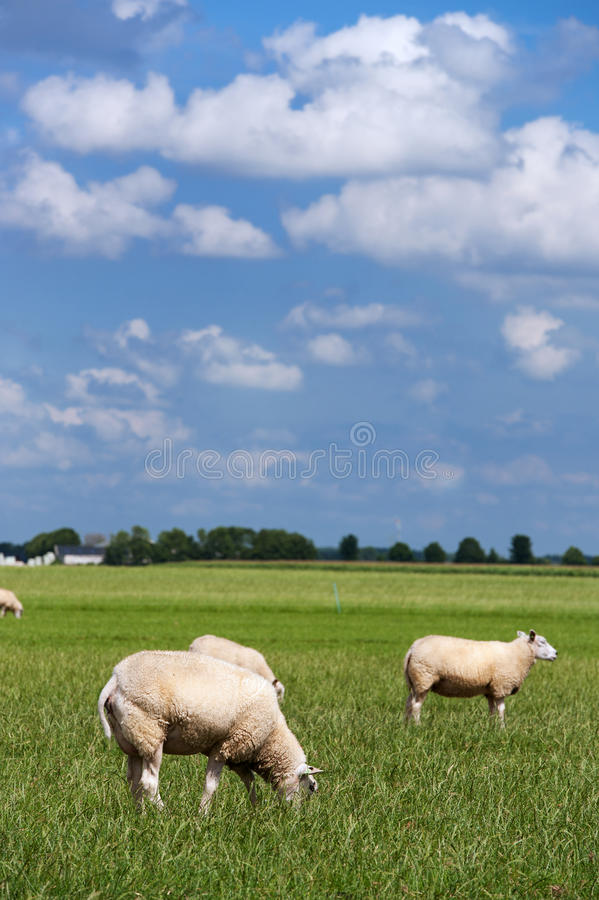 Sheep in flat landscape royalty free stock photos