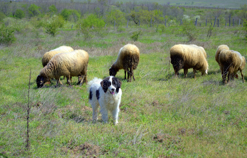 Sheep flock grazing and sheepdog. Flock of sheep in fresh early grass, cute sheepdog in spring landscape background.Sheep (Ovis aries) are quadrupedal, ruminant royalty free stock photos