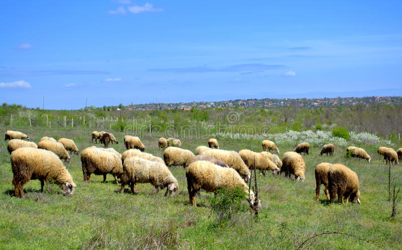 Sheep flock grazing in the spring pasture stock photo