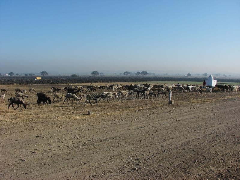 Sheep Herd Flock with Shepherd. Sheep Flock Herd and Shepherd during winter morning with Blue Sky stock photos