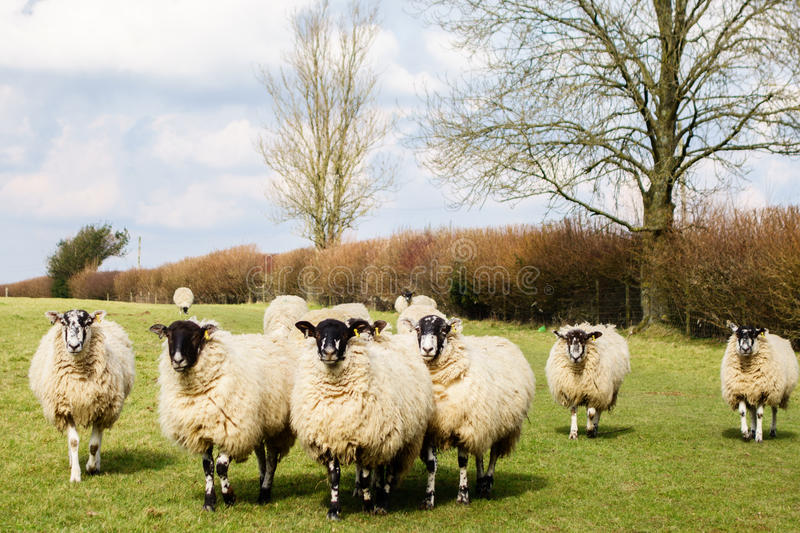 A flock of sheep royalty free stock photo