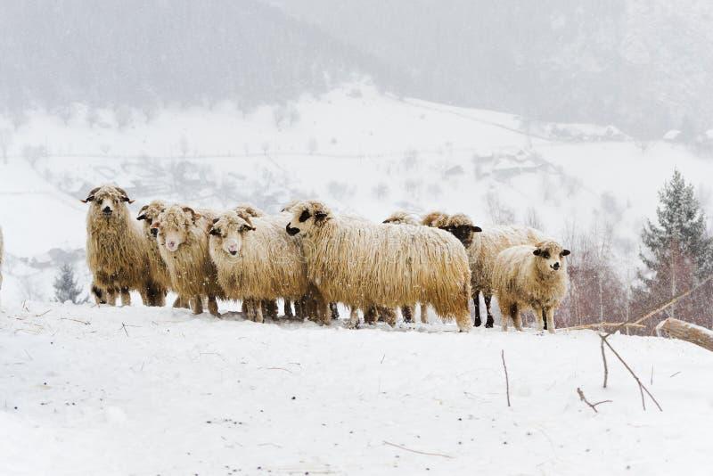 Sheep Flock. In Mountain, in Winter stock photo