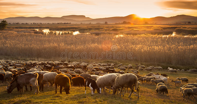 Sheep flock with the setting sun from Hungary royalty free stock image