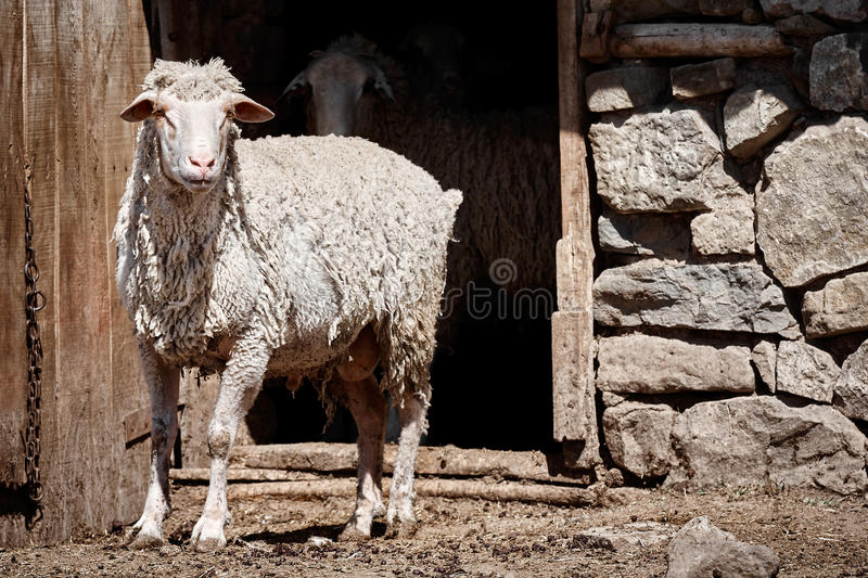Sheep in front of a barn stock images