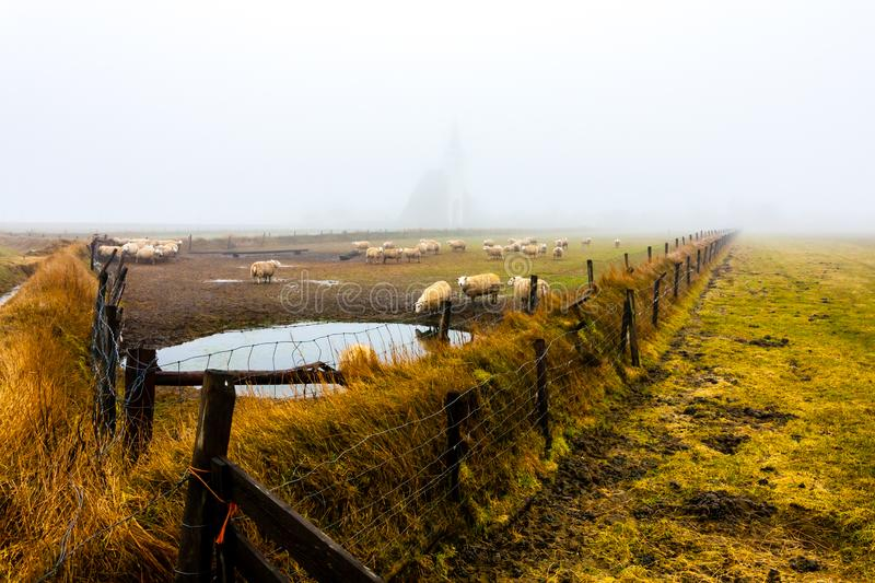 Sheep in front of the church of Den Hoorn at autumn foggy morning, Texel island, The Netherlands.  stock photo