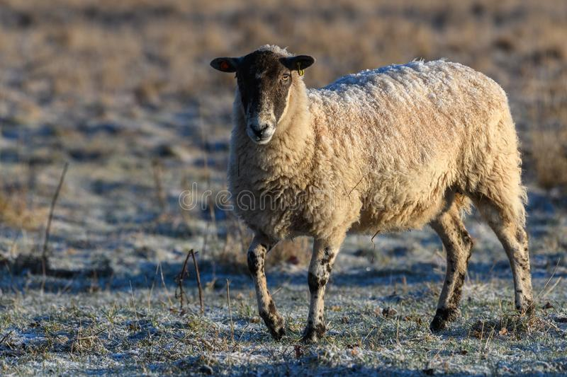Sheep with a frosty back royalty free stock images