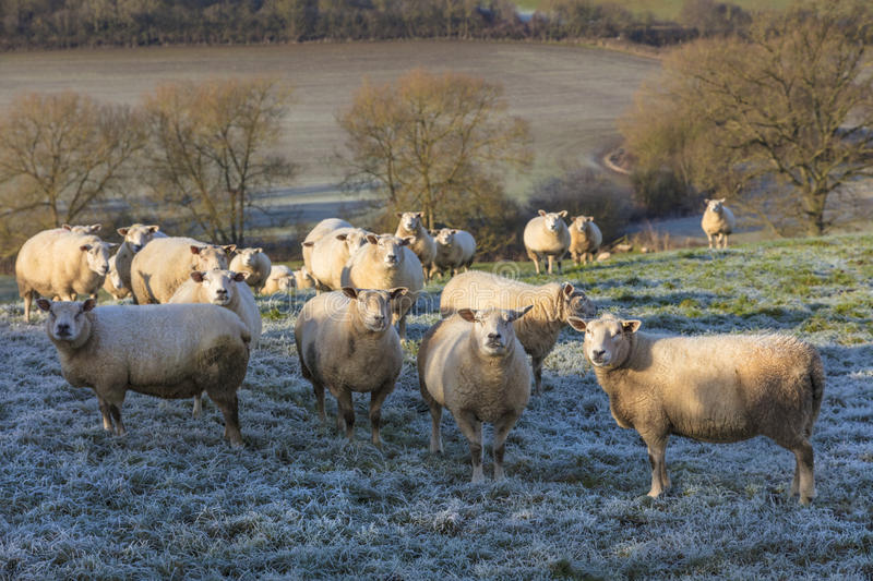 Sheep in A Frosty Field royalty free stock images