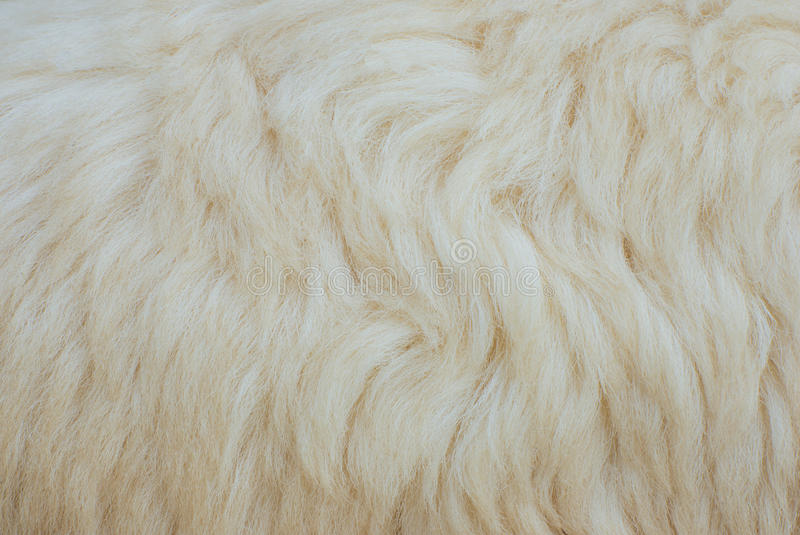 Sheep fur. Background or texture stock images
