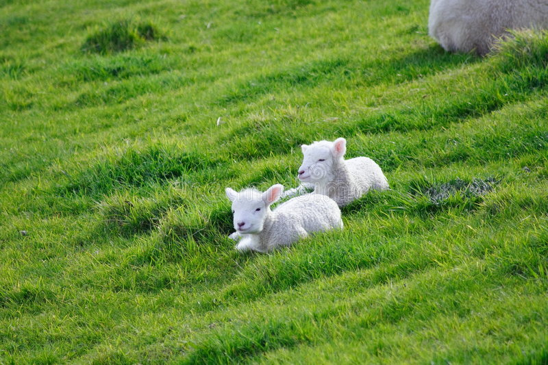 Download Sheep And Glassland stock image. Image of lamb, land, grassland - 3388233
