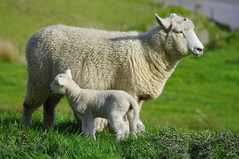 Sheep And Glassland Royalty Free Stock Photos
