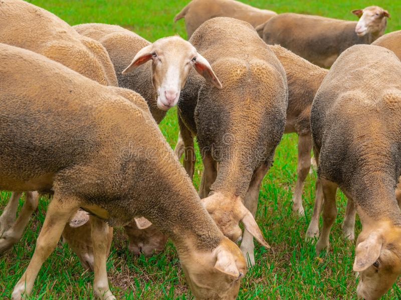 Sheep gnaw green grass on the pasture. stock image