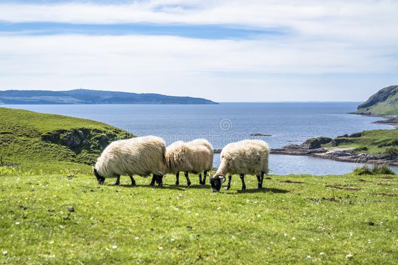 Download Sheep And Goat At The Bay Called Camas Nan Geall, Ardnamurchan Stock Image - Image of island, cairn: 106894943