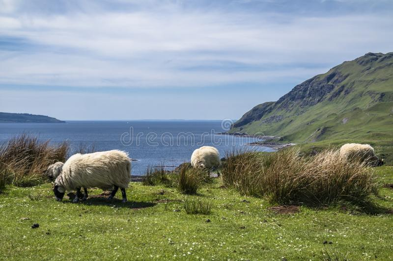 Download Sheep And Goat At The Bay Called Camas Nan Geall, Ardnamurchan Stock Photo - Image of landscape, aerial: 106893656