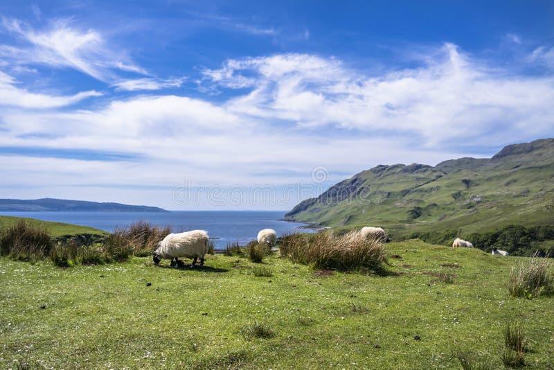 Download Sheep And Goat At The Bay Called Camas Nan Geall, Ardnamurchan Stock Photo - Image of ciaran, coast: 106893858