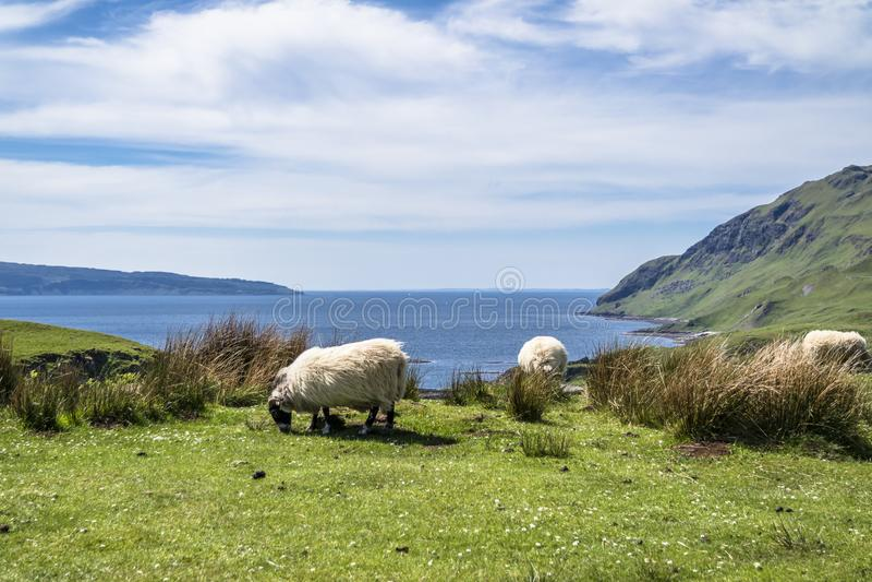 Download Sheep And Goat At The Bay Called Camas Nan Geall, Ardnamurchan Stock Photo - Image of green, graveyard: 106894016