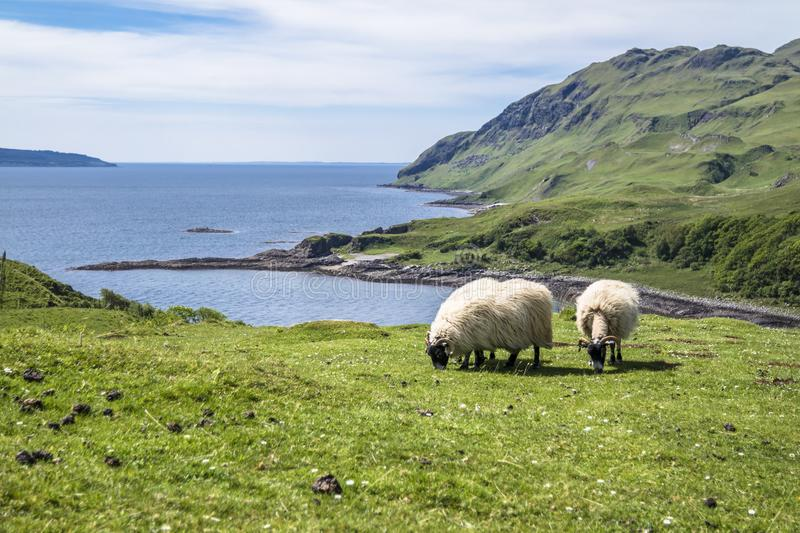 Download Sheep And Goat At The Bay Called Camas Nan Geall, Ardnamurchan Stock Image - Image of goat, kilchoan: 106894443