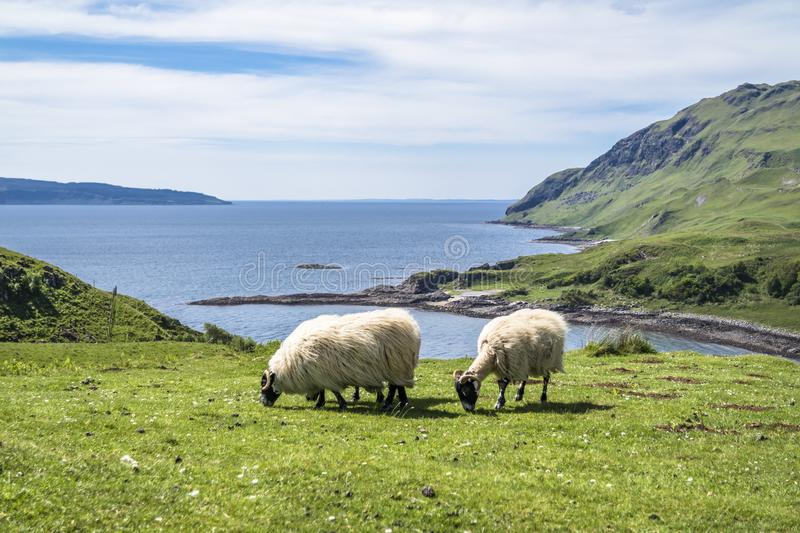 Download Sheep And Goat At The Bay Called Camas Nan Geall, Ardnamurchan Stock Photo - Image of island, pictures: 106894602