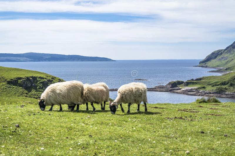 Download Sheep And Goat At The Bay Called Camas Nan Geall, Ardnamurchan Stock Image - Image of camas, cairn: 106894957