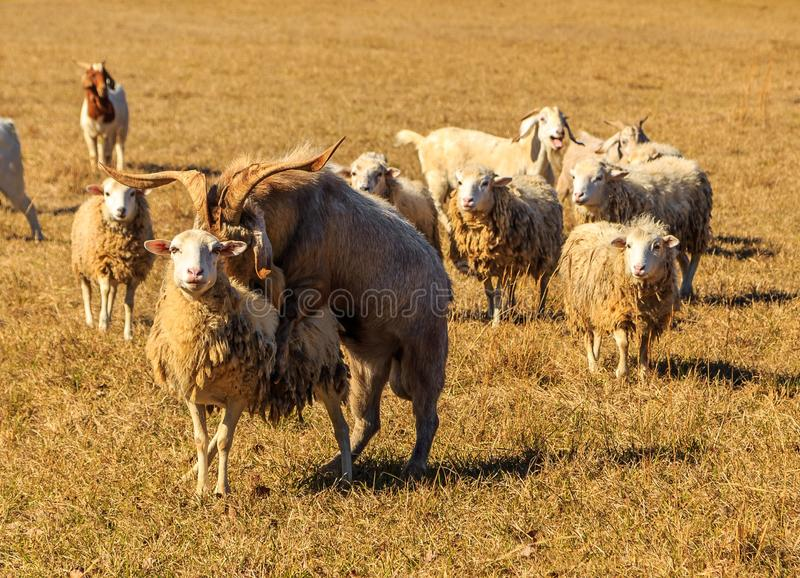 Sheep and Goat Mating. A picture of a buck goat attempting to mount an ewe while others in the herd look on and one in the rear appears to laugh royalty free stock photography