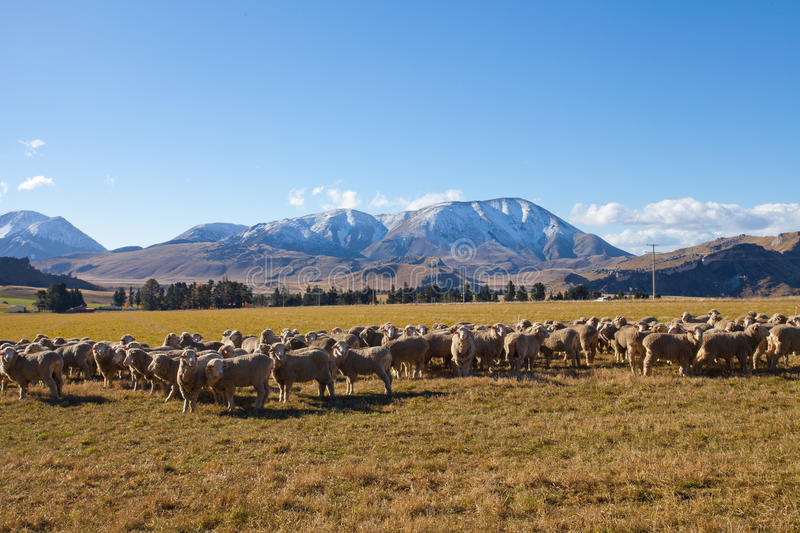 Sheep and grass field in New Zealand