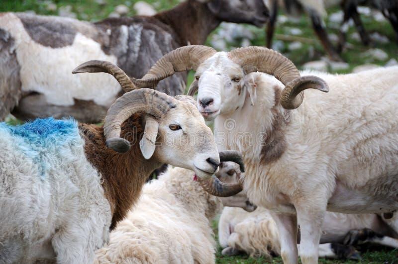 Sheep in grassland. Qinghai,China royalty free stock photo