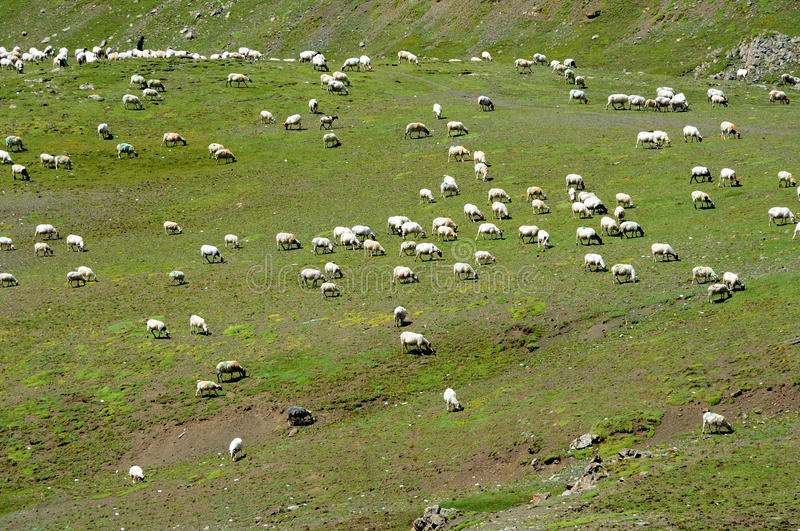 Sheep in grassland. Qinghai,China stock photography