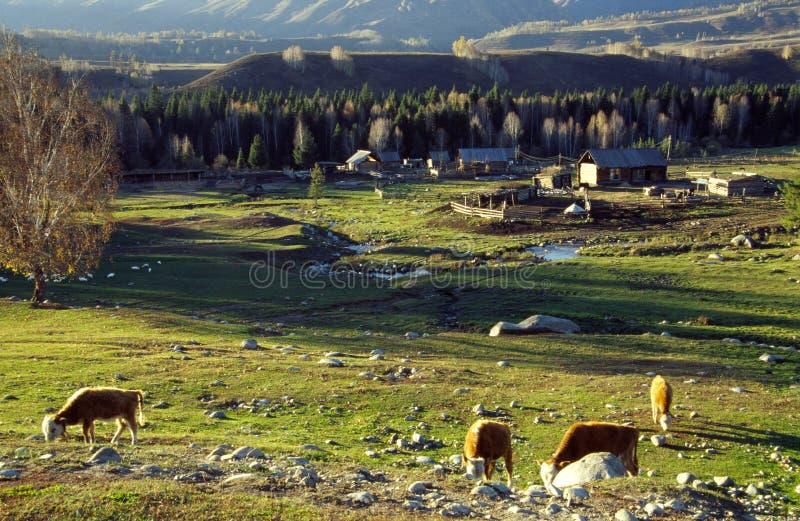 Sheep in grassland. Loated in xinjiang,China stock image