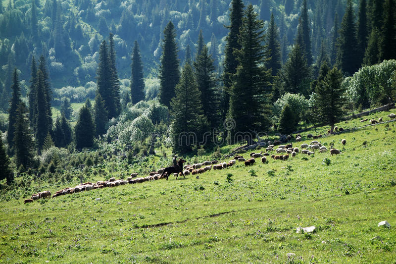 Sheep in grassland. Many sheep in grassland, located in Tianshan,Xinjiang, China royalty free stock photography