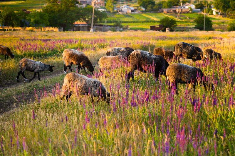 Sheep graze in a field with flowers at sunset.  stock photography