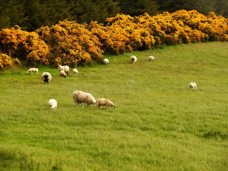 Irish Sheep. Sheep graze on lush grass in the Irish countryside bordering by yellow spiny Gorse hedges to keep the flock from wondering out of their pasture stock image