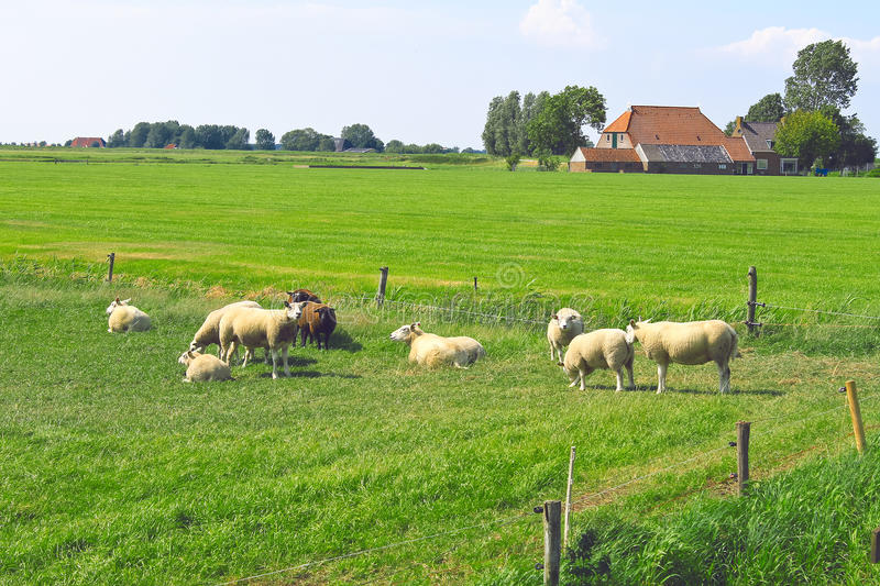 Download Sheep Graze In A Meadow Royalty Free Stock Photos - Image: 25951158