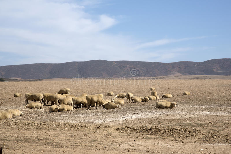 Sheep graze in the Swartland region of South Africa. Sheep grazing in the Swartland region of South Africa royalty free stock photo