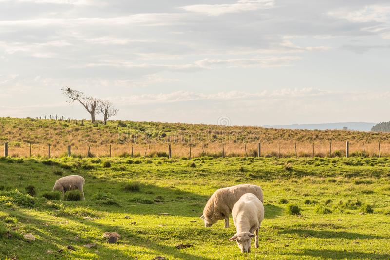 Sheep Grazin in the southern Brazil 03 stock image