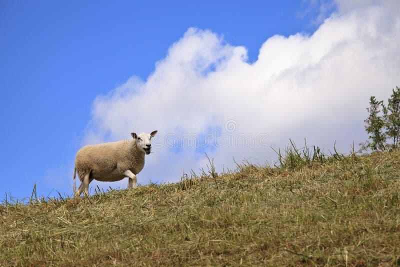 Download Sheep grazing stock photo. Image of livestock, mutton - 19498916