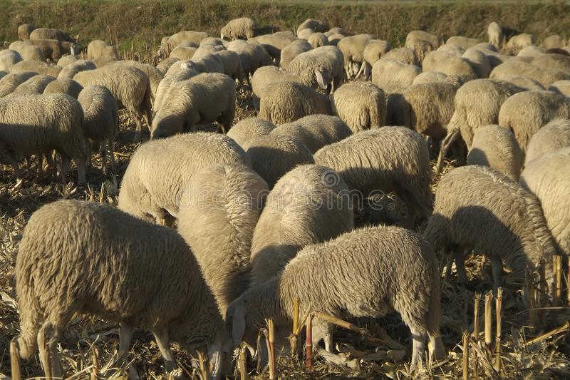 Download Sheep Grazing Stock Photography - Image: 25814592