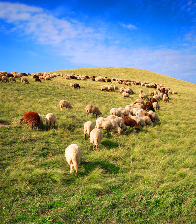 Download Sheep grazing stock image. Image of provincial, farmland - 3432263
