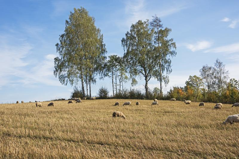 Sheep grazing in autumn. Beautiful autumn landscape scene with sheep in paddock and trees on the background stock photos