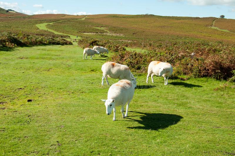 Sheep grazing on the Autumn landscape in the mountains of the Brecon beacons in the British countryside. stock photo