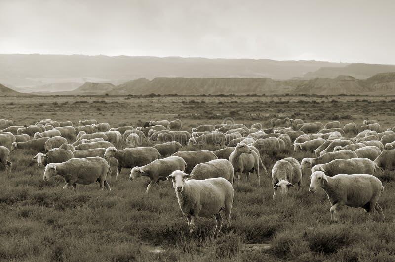 Sheep grazing at Bardenas desert