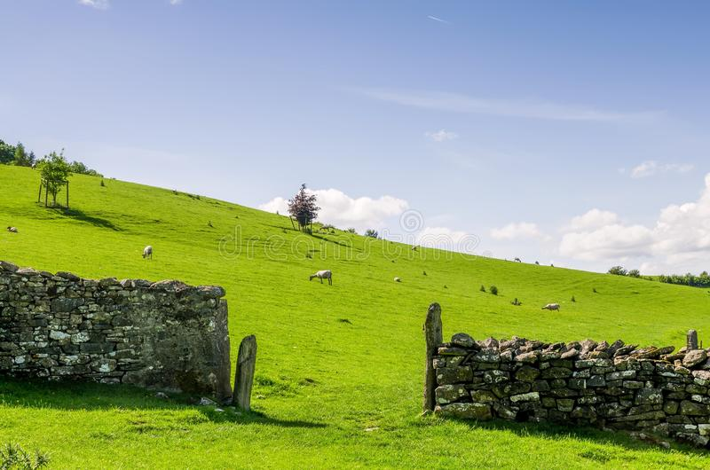 Sheep grazing beyong a dry stone wall. royalty free stock photography
