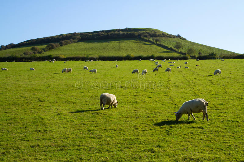 Sheep grazing on Brent Knoll Somerset. Brent Knoll hill on the Somerset Levels in Somerset, England. It is located half way between Weston-super-Mare and stock photography
