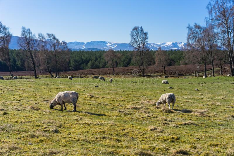 Sheep grazing with Cairngorm Mountains in the distance royalty free stock photography